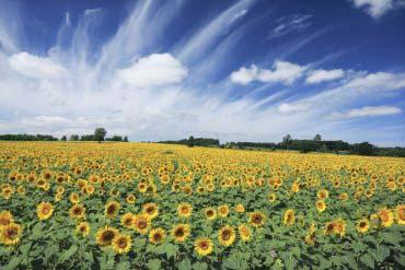 Sunflowers in Hokuryu Town