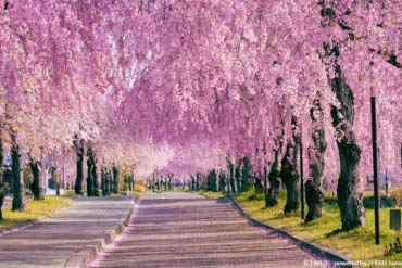 A Row of Weeping Cherry Trees, Nichusen Memorial Bike and Pedestrian Path