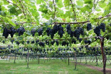 桔梗原葡萄酒莊園