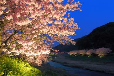 Minami no Sakura Cherry Blossoms (Shizuoka)