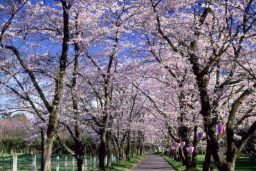 Akagi Nanmen Senbonzakura (Cherry Blossoms at Akagi)