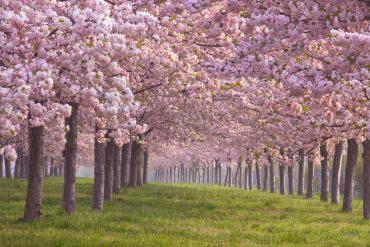 Chikumagawa Teibo Sakurazutsumi (Cherry blossom Chikuma River Sakurazutsumi)