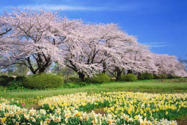 北上展勝地櫻花祭(岩手)
