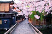 Cherry trees of Gion Shirakawa