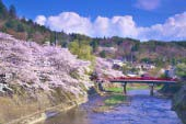 Row of Cherry Trees(Takashima City)