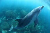 御蔵島のミナミハンドウイルカ
