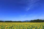 Sunflowers in Tsunan Town